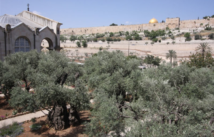 Image panoramique du jardin de Gethsémani. A gauche, la façade nord de la basilique de l'Agonie (dite aussi des Nations). Au fond les murailles de Jérusalem.