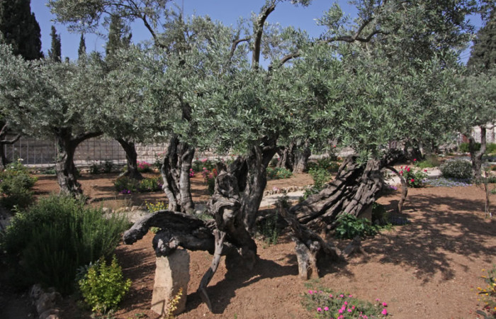 Photo de l'olivier numéro 8 du jardin de Gethsémani.