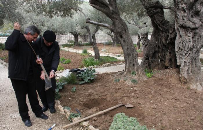 Une étape de l'analyse du sol au pied de l'olivier numéro 4, en vue d'évaluer l'éco système et l'impact de la pollution sur les plantes
