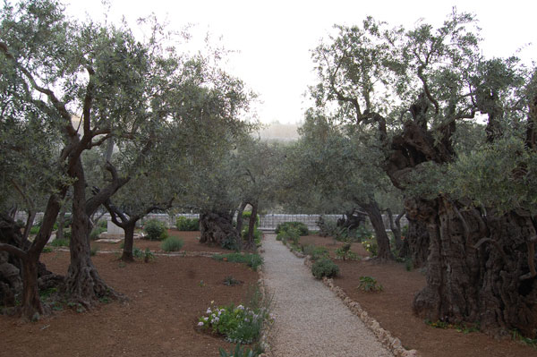 Jardin des Oliviers, lieu de l'agonie du Christ
