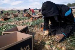 Palestiniens, ils travaillent dans des colonies