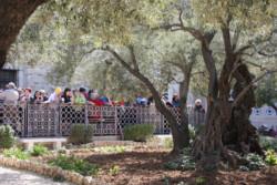 Oliviers de Gethsémani: publication d'une étude scientifique