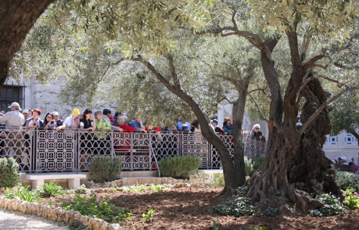 Pèlerins contemplant les troncs noueux et impressionnants des oliviers du jardin de Gethsémani à Jérusalem. (Album photo de G. Gianfrate)
