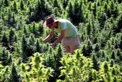 Israël vers la dépénalisation du cannabis?
