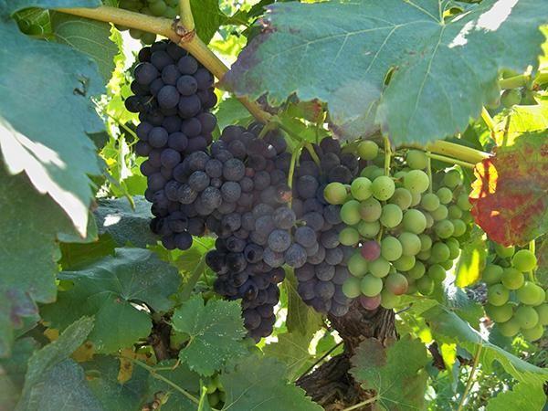Le vin en Jordanie, un monopole chrétien au défi