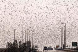 Invasion de sauterelles en Égypte et dans le Néguev