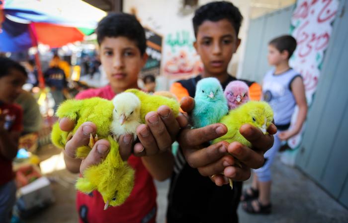 À vendre : poussins colorés. Marché de Rafah, bande de Gaza. 25 juin 2020. Abed Rahim Khatib/ Flash90