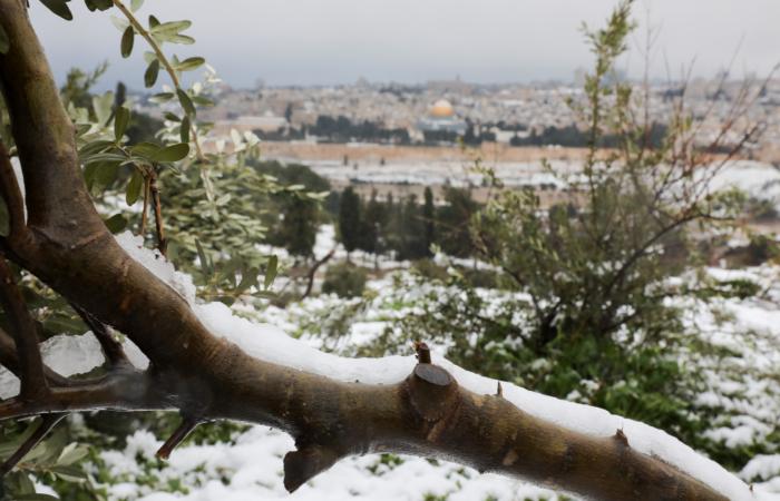 Quand les oliviers se prennent pour des sapins de Noël. 18 février 2021. Photo : Nati Shohat/Flash90