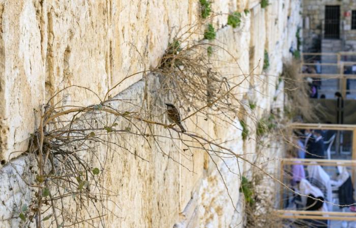 Le Mur Occidental abrite tout un écosystème : plantes, oiseaux, en partie responsable de son effritement. Photo Yaniv Berman Israel Antiquities Authority