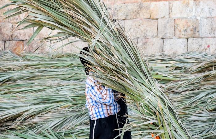 Les feuilles de palmiers serviront à recouvrir les souccot. La loi juive prescrit que le toit de la cabane doit laisser entrevoir les étoiles ©Cécile Lemoine/TSM